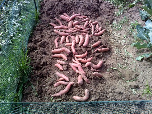Our harvest of Sweet Potatoes from 5 slips