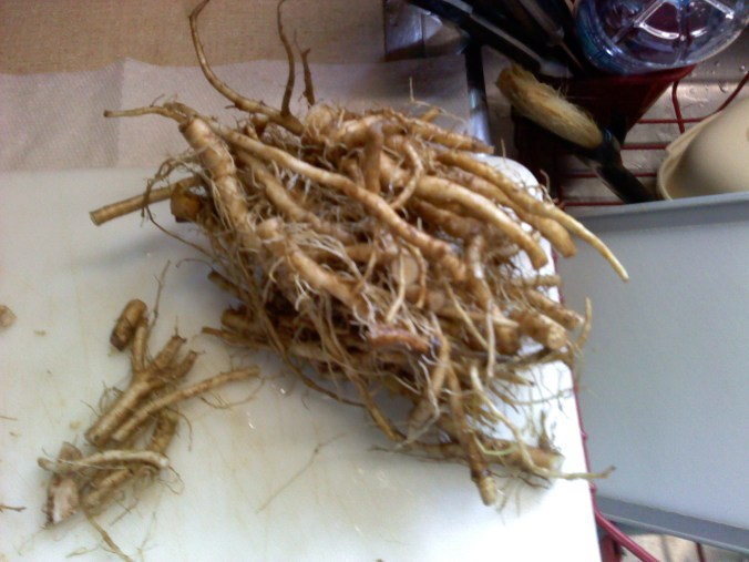 Dandelion roots prior to roasting for coffee alternative