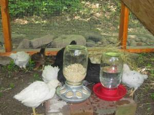 Chickens at 5-6 weeks old