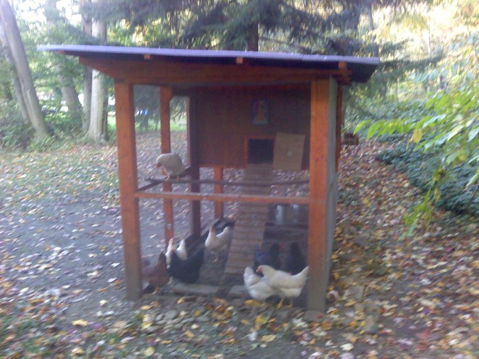 Chicken Ladded going into side of chicken coop