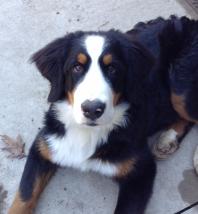 Wayward Bernese Mountain Dog
